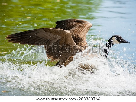 One Canada Goose landing in water with raised wings, moving right, causing big splash and waves against green water. - stock photo