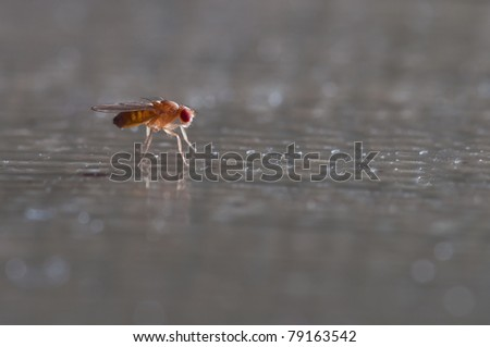 One common fruit fly sitting on a table - stock photo