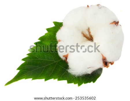 One cotton plant bud with green leaf isolated  on white background - stock photo