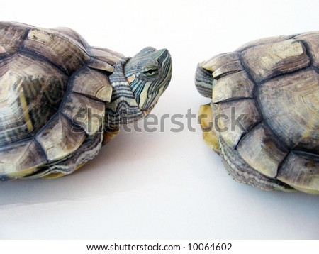 One Curious And One Shy Tortoise - stock photo