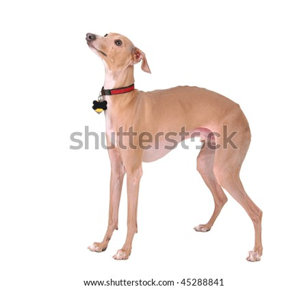 one cute dog standing alone isolated on a white background