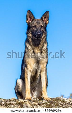 One cute grey german shepherd dog sitting isolated closeup - stock photo