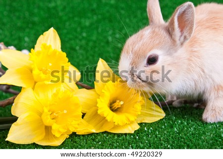 one cute little rabbit sniffing yellow narcissus