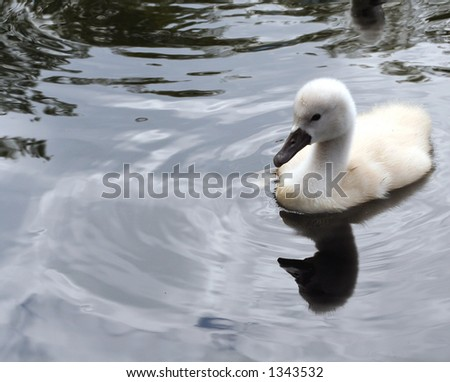 One cygnet, alone.
