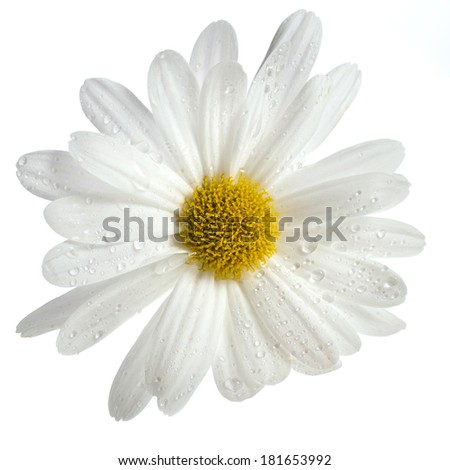 one daisy head surface close up flower isolated on white - stock photo