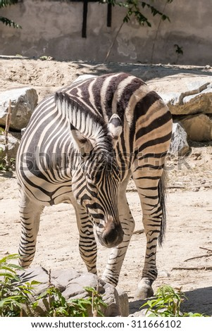 one Damara zebra standing in the sun for food  - stock photo