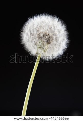 one dandelion flower on black color background, closeup object - stock photo