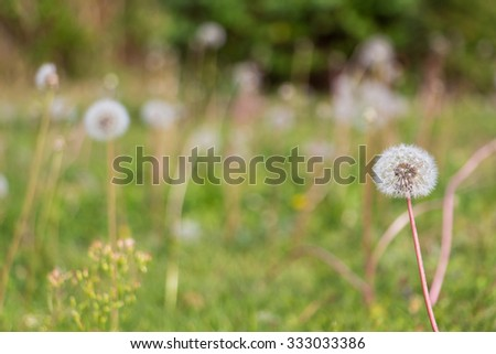 One dandelion in the foreground framing a background of a blurred green field suitable for copy space showing nobody. The fragile and soft appearance conveys a relaxing, natural and fresh atmosphere.