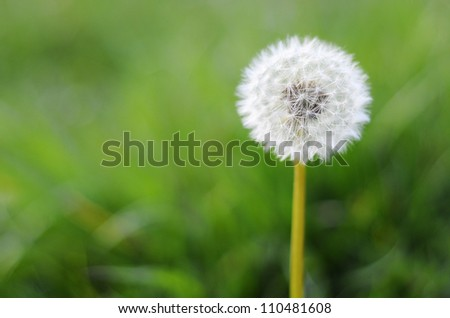 One dandelion on green background