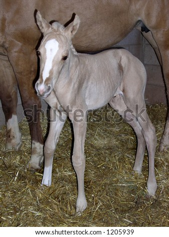 one day old baby horse - stock photo