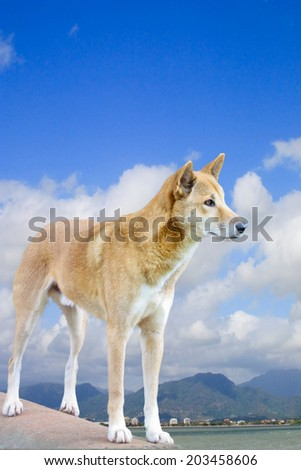 one dingo with Cairns city in the background - stock photo