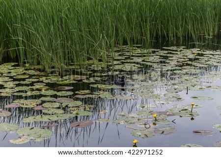 One Duck Swims in the Lake among the Lotus and Reeds. Yellow flowers in the Lake.  - stock photo