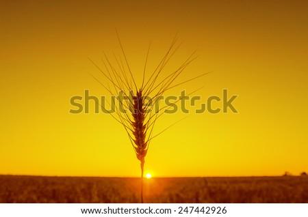 one ear of wheat on orange sunset - stock photo