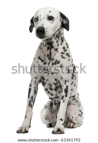 One-eyed Dalmation, 10 years old, sitting in front of white background - stock photo