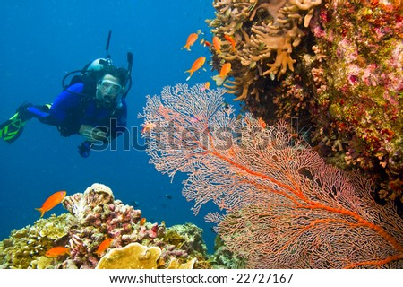one female scuba diver viewing large orange-colored common gorgonian sea fan and variety of colorful coral of great barrier reef, australia - stock photo