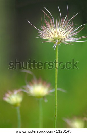 One flower stands tall above its peers. A botanical image with a variety of uses from allergies/allergy season to ambition, getting ahead, striving, advancement, standing out in a crowd, etc. - stock photo
