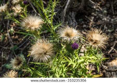 One fresh thistle blossom among several that are well past their prime yet beautiful in a different way - stock photo