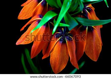 one fritillaria imperialis on black - stock photo