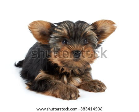 One funny puppy of the Yorkshire Terrier with big ears isolated on white background