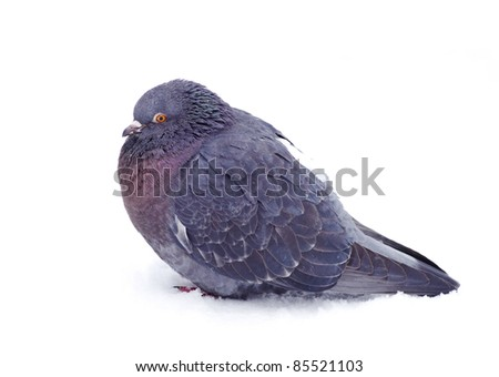 One gray pigeon isolated on white background - stock photo
