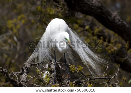 One Great Egret (Ardea alba) sitting in a tree during nesting season, facing front, tail feathers gracefully splayed