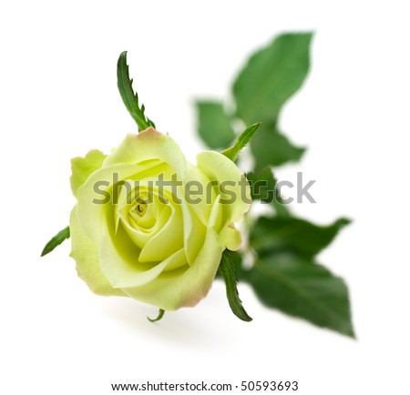 One green rose isolated on white background (shallow depth of field) - stock photo
