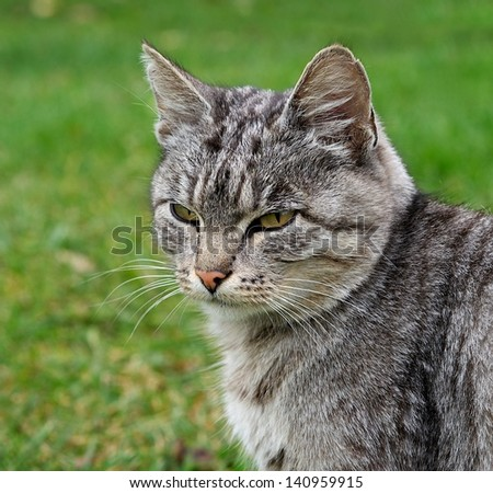 One grey big cat sitting and looking in open air in green background in village,cat  outside,animal close up