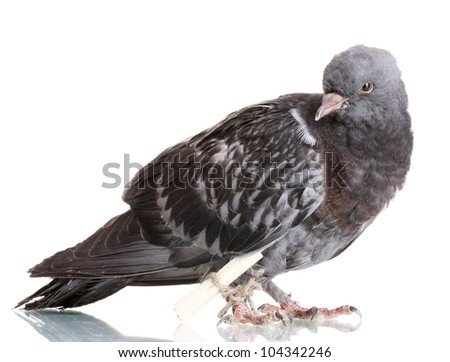 One grey messenger-pigeon isolated on white - stock photo