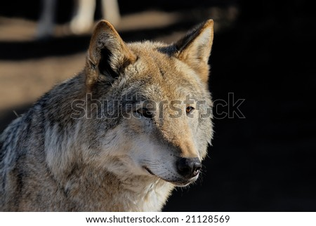 One half of muzzle of the she-wolf is brightly lit by the morning sun, another in a shade - stock photo