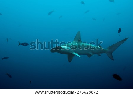 One hammerhead shark swimming in the blue waters of the pacific ocean - stock photo