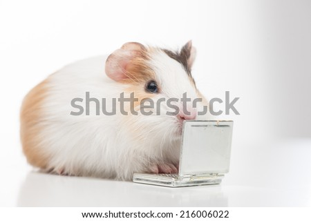 one hamster closeup isolated on white. little animal closeup sitting and typing