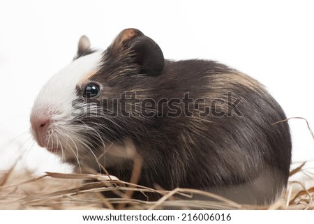 one hamster closeup isolated on white. little animal closeup sitting in hay - stock photo