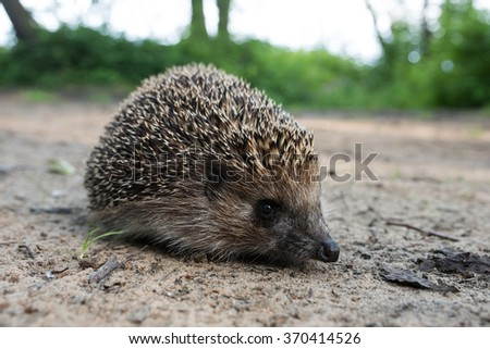 One hedgehog crawled out onto the road, looking at the camera in the summer on a background of the ground and the green forest, let thorns