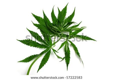 One hemp (marijuana) plant isolated on white. - stock photo