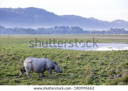 One horned rhinoceros in Kaziranga National Park - Assam, India - stock photo