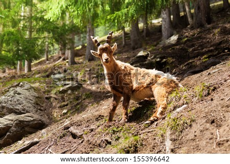 One ibex sitting in the forest in Chamonix at the foot of Mont Blanc
