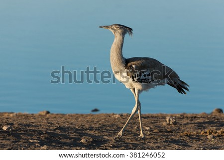 One Kori Bustard walking along waters edge in Etosha in Namibia