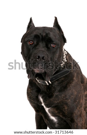 one large black mastiff headshot portrait over white