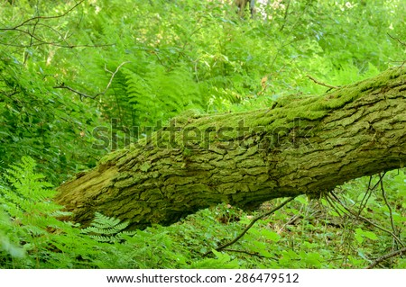 One large tree trunk form coarse woody debris among ferns and other vegetation. Moss is growing on dead tree trunk. - stock photo