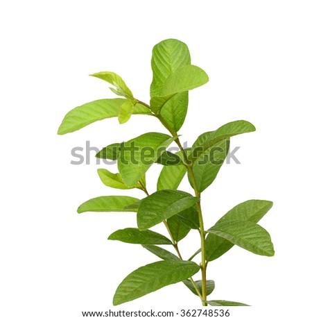 one leaf guava close up macro isolated on white - stock photo