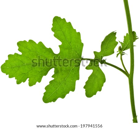 One Leaf of Mustard plant , surface close up, isolated on white background - stock photo
