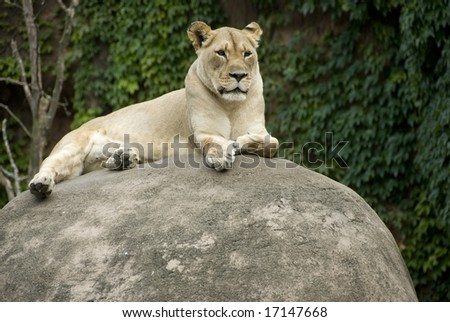 One lioness laying on a large rock