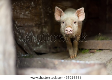 One little scared piglet at farm - stock photo