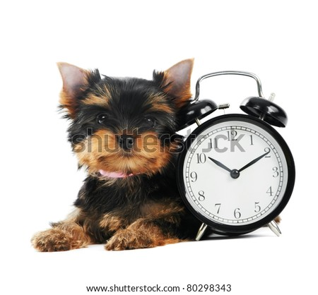 One little Yorkshire Terrier (3 month) puppy dog with alarm clock isolated over white background - stock photo