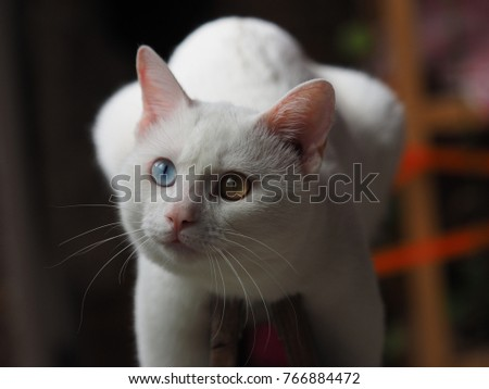 One lovely white cat with the different color eye