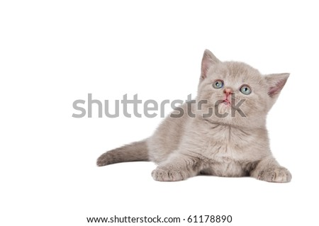 One lying british shorthair kitten cat of blue shade isolated - stock photo