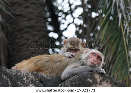 One macaque delousing another one