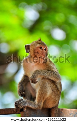 One monkey sits on the tree