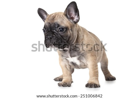 One month old French bulldog puppy isolated on white background