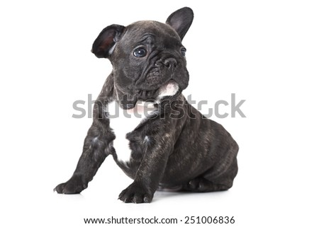 One month old French bulldog puppy sitting on white background and looks up to something
